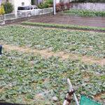 GW中の雨で畑やポタジェが大変なことに…野菜ガーデニング