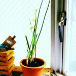 野菜を長持ちさせる方法 小さな窓際でのミニミニ畑