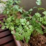 ベランダ菜園のススメ 野菜は買うよりも育てるに限る!