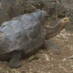 ガラパゴスのエスパニョーラゾウガメ、ディエゴ。たった1人で子孫800匹。種を絶滅から救う ガラパゴス諸島