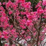 日本一早い!第43回もとぶ八重岳桜まつりにいってきた!1月24日なのに桜!早っ!沖縄県の一足早い花見